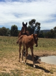Front Page as a foal