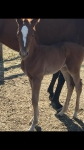Magnus-Stacey Lee filly